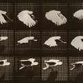 eadweard-muybridge-cockatoo-flying.jpg